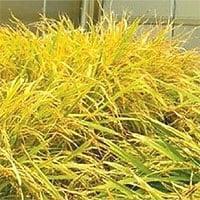 Nghiên cứu giống lúa mới biến đổi gene phòng dịch tả