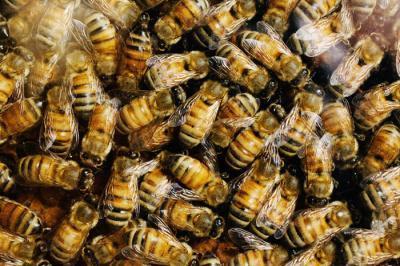 Nghiên cứu hệ gen tiết lộ nguyên nhân rối loạn sụt giảm bầy đàn ở ong