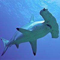 Nghiên cứu mới cho thấy loài cá mập búa có thể là giống thích