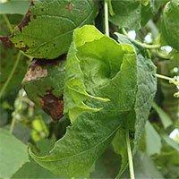 Nghiên cứu mới cho thấy loài nho biết dùng lá bảo vệquả