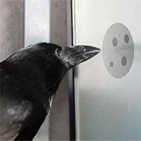 Nghiên cứu mới cho thấy quạ cũng hiểu được khái niệm số