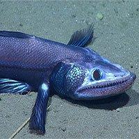 Ngộ nghĩnh cá thằn lằn, mực đuôi ngắn dưới đáy biển