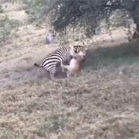 Ngoạm trúng cổ ngựa vằn, sư tử háu đói vẫn thảm bại ê chề