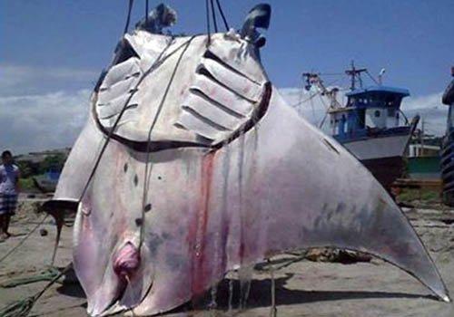 Ngư dân bắt được cá đuối nặng hơn 1 tấn ở Peru