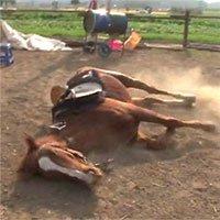 Ngựa lăn ra giả chết để trốn người cưỡi