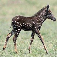 Ngựa vằn đột biến gene tăng nhiều bất thường