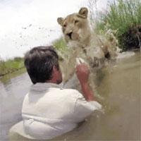 Người đàn ông bị sư tử vồ giữa sông và diễn biến không ngờ