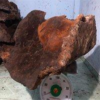 """Người dân Quảng Nam phát hiện nấm chò """"khủng"""" nặng gần 70kg"""