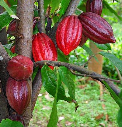 Người Maya dùng chocolate làm gia vị