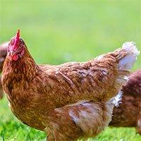 Người phụ nữ mắc bệnh siêu hiếm: Nghĩ mình là một con gà
