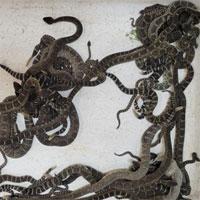 Người phụ nữ sợ hãi khi phát hiện ổ rắn đuôi chuông kịch độc dưới sàn nhà