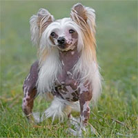 Nguồn gốc của giống chó không lông Trung Quốc