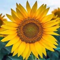 Nguồn gốc của hoa hương dương và ý nghĩa hoa hướng dương trong cuộc sống