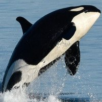 Nguyên nhân đáng lo ngại khiến cá voi sát thủ chết dạt vào bờ