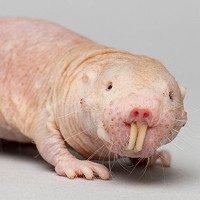 Nguyên nhân tại sao chuột chũi Đông Phi có thể sống sót trong 20 phút mà không cần oxy
