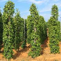 Nhà khoa học đưa đồng nano vào phân bón cây trồng