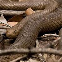 Nhầm vòi phun nước là bạn tình, rắn nâu độc