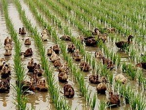 Nhật Bản: Dùng vịt thay thuốc hóa học diệt sâu, cỏ