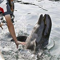 Nhật Bản lần đầu tiên giới thiệu cá voi lai tới công chúng