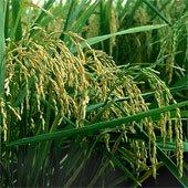 Nhật Bản tìm ra một giống lúa mới chịu được hạn hán