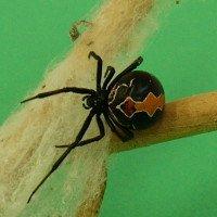 Nhện độc Katipo - một trong những loài nhện độc nhất thế giới