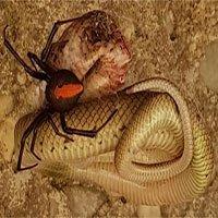 Nhện lưng đỏ đoạt mạng rắn nâu kịch độc
