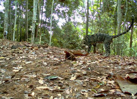 Nhiều loài mèo quý hiếm ở Indonesia có thể tuyệt chủng