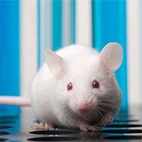 Những con chuột sơ sinh có thể