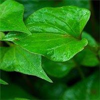 Những lá rau vị thuốc chữa viêm họng có sẵn trong vườn nhà