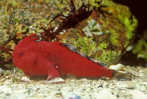 Những loài cá có 'tay'