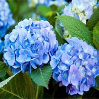 Những loại hoa có độc cần lưu ý khi bày dịp Tết