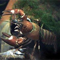 Những loài tôm hùm đất gây hại phổ biến trên thế giới