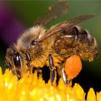 Những ngày đầu đời của loài ong qua chùm ảnh chân thật