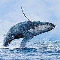 Những sự thật ít người biết về cá voi