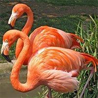 Những sự thật thú vị về loài chim hồng hạc