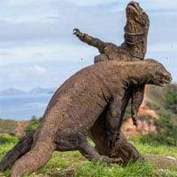Nước biển dâng cao khiến loài rồng Komodo quý hiếm có nguy cơ tuyệt chủng