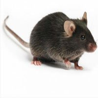 Nước mắt loài chuột và phát hiện bất ngờ khả năng