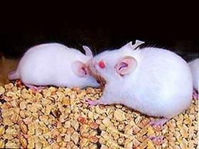 Nuôi thành công chuột mắc bệnh tăng nhãn áp