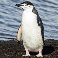 Ở Nam Cực, có loài chim cánh cụt