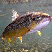 Ô nhiễm dược phẩm biến cá hồi nâu thành