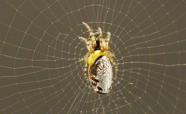 Ong bắp cày biến nhện thành Zombie như thế nào?