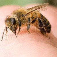 Ong chích ở đâu là