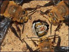 Ong đánh nhau tới chết vì... tình