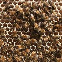 Ong làm mật như thế nào?