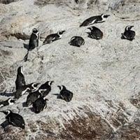 Ong mật tàn sát 63 con chim cánh cụt quý hiếm