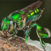 Ong phong lan, loài vật