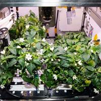 Ớt trổ hoa kết trái trên Trạm Vũ trụ Quốc tế ISS