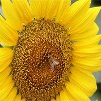 Phấn hoa hướng dương bảo vệ loài ong