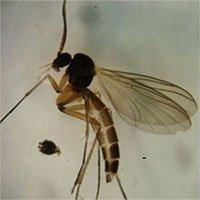 Phát hiện 2 loài ruồi ăn nấm mới