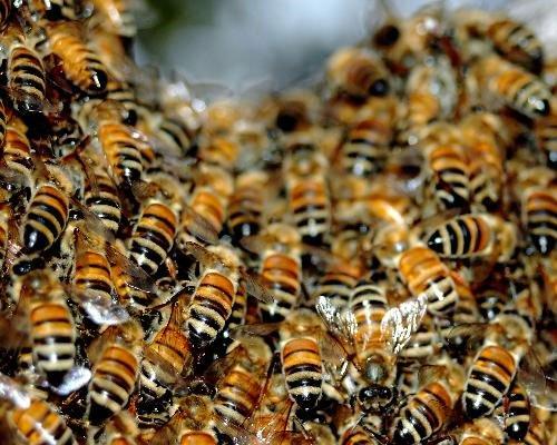Phát hiện 4 virút mới gây ong chết hàng loạt